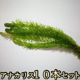 【限定大特価】アナカリス 10本セット