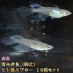 青みゆき(幹之)ヒレ長スワローめだか松井系10匹セット/青みゆき(幹之)ヒレ長スワローメダカ