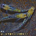 オーロラ黄ラメめだか虹色ラメ未選別稚魚SS〜Sサイズ10匹セット/オーロラ黒黄ラメメダカ