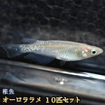 オーロララメめだか未選別稚魚SS〜Sサイズ10匹セット/オーロララメメダカ