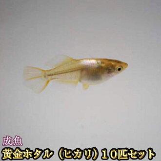 黄金萤火虫(hikari)medaka 10只安排/黄金萤火虫(hikari)将鱼/凤凰