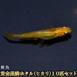 黄金黒鱗ホタル(ヒカリ)めだか稚魚SS〜Sサイズ10匹セット/黄金黒鱗ホタル(ヒカリ)メダカ【RCP】