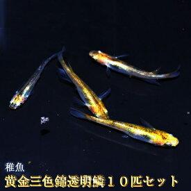 黄金三色錦透明鱗めだか 未選別 稚魚 SS〜Sサイズ 10匹セット / 黄金三色錦透明鱗メダカ