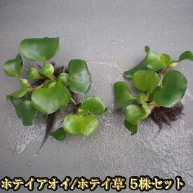 【限定大特価】ホテイアオイ 5株セット / ホテイ草 / めだかの産卵床に