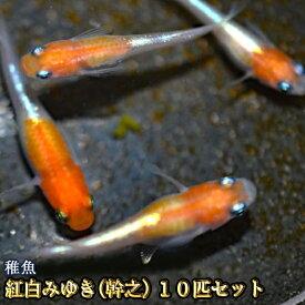紅白みゆき(幹之)めだか 体外光 未選別 稚魚 SS〜Sサイズ 10匹セット / 紅白みゆき(幹之)メダカ