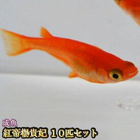 【限定大特価】紅帝楊貴妃めだか 10匹セット / 紅帝楊貴妃メダカ