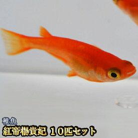 紅帝楊貴妃めだか 稚魚 SS〜Sサイズ 10匹セット / 紅帝楊貴妃メダカ