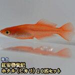 紅帝ホタル(ヒカリ)めだか稚魚SS〜Sサイズ5匹セット/紅帝ホタル(ヒカリ)メダカ
