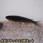 【送料無料】小川ブラックめだか20匹セット/小川ブラックメダカ