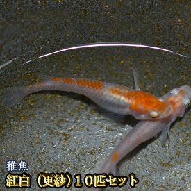 紅白めだか 未選別 稚魚 SS〜Sサイズ 10匹セット / 紅白メダカ / 更紗