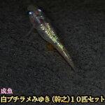 白ブチラメみゆき(幹之)めだか虹色ラメ10匹セット/白ブチラメみゆき(幹之)メダカ