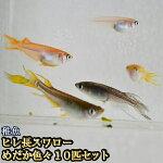 ヒレ長スワローめだか色々お楽しみ稚魚SS〜Sサイズ10匹セット/ヒレ長スワローメダカ