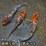 雲州三色めだか未選別稚魚SS〜Sサイズ5匹セット/雲州三色メダカ