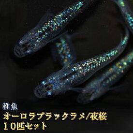 オーロラブラックラメめだか 虹色ラメ 未選別 稚魚 SS〜Sサイズ 10匹セット / オーロラブラックラメメダカ / 夜桜