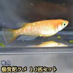楊貴妃ラメめだか未選別稚魚SS〜Sサイズ10匹セット/楊貴妃ラメメダカ