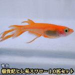 ヒレ長スワローめだか未選別稚魚SS〜Sサイズ10匹セット/ヒレ長スワローメダカ/風雅