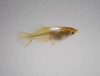 黄金萤火虫(hikari)medaka 10条安排/黄金萤火虫(hikari)将鱼