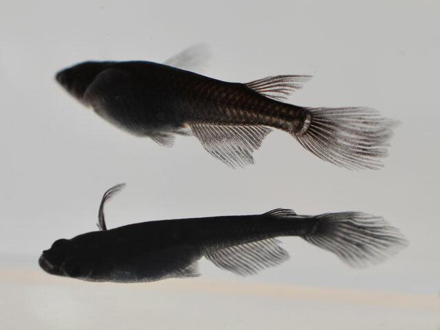 サタン / オロチヒレ長スワローめだか 未選別 稚魚 SS〜Sサイズ 5匹セット / オロチヒレ長スワローメダカ