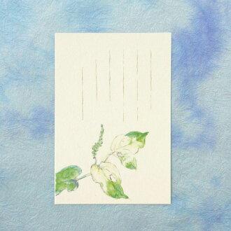 季節のはがき[初夏]半夏生(はんげしょう)草