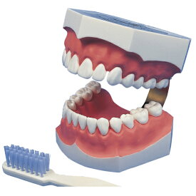 【送料無料】歯磨き指導顎模型/サイズ:約W130×D160×H110mm2倍大歯磨き指導用模型(永久歯列)