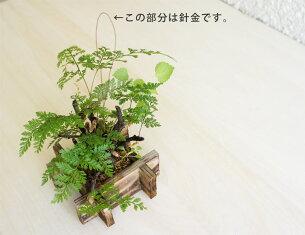 釣りしのぶ井戸/植木/盆栽/植物/シノブ/吊りしのぶ