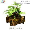釣りしのぶ 井戸 植木 盆栽 植物 シノブ 吊りしのぶ つりしのぶ 萬園 江戸 伝統工芸