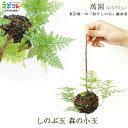 釣りしのぶ しのぶ玉 森の小玉 つりしのぶ 萬園 江戸 伝統工芸 苔玉