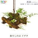 釣りしのぶ イゲタ 植木 盆栽 植物 シノブ 吊りしのぶ つりしのぶ 萬園 江戸 伝統工芸