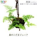 釣りしのぶ 森の小玉ジュニア(Jr) 植木 盆栽 植物 シノブ 吊りしのぶ つりしのぶ 萬園 江戸 伝統工芸