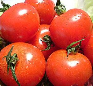 福井県産 ミディトマト 送料無料 福井県 越のルビー 生トマト 約1.8kg入越のルビー 収穫時期 6月中旬以降福井 越のルビーの苗から 栽培 高栄養・高糖度のミディ とまと高級ブランド トマト