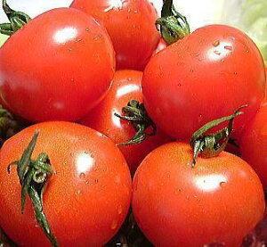 福井県産 ミディトマト 送料無料 福井県 越のルビー 生トマト 約2.7kg入越のルビー 収穫時期 6月中旬以降福井 越のルビーの苗から 栽培 高栄養・高糖度のミディ とまと高級ブランド トマト