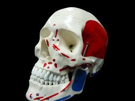 【送料無料】人体模型 頭蓋骨 筋肉付着部 詳細模型