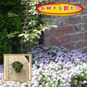 タイム クリーピングタイム(タイムロンギカウリス)(ピンク)ハーブ 9.0cmp 1p〜♪/苗