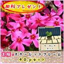 【肥料プレゼント!】芝桜(シバザクラ・しばざくら)スカーレットフレーム40pセット/苗