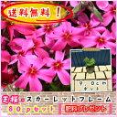 【送料無料!】【肥料プレゼント!】芝桜(シバザクラ・しばざくら)赤花 スカーレットフレーム 80pセット/苗