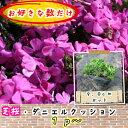 芝桜(シバザクラ・しばざくら) 濃桃 ダニエルクッション1pからどうぞ!/苗