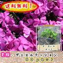 【送料無料!】芝桜(シバザクラ・しばざくら) 濃桃 ダニエルクッション80pセット/苗