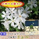 芝桜(シバザクラ・しばざくら)白花 リトルドット1pからどうぞ♪/苗
