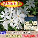 【送料無料】【肥料プレゼント】芝桜(シバザクラ・しばざくら) (白花)リトルドット♪80pセット/苗