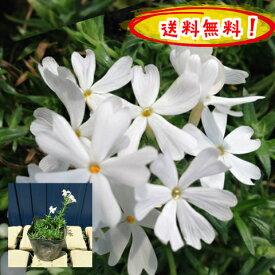 【送料無料】芝桜(白花)リトルドット♪80pセット/苗【肥料プレゼント】(しばざくら・シバザクラ)