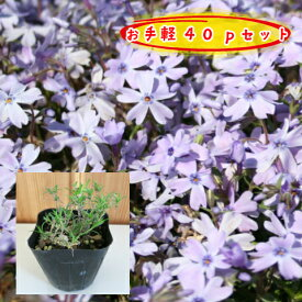 【肥料プレゼント!】芝桜(紫花)オーキントンブルーアイ 40pセット/苗(しばざくら・シバザクラ)
