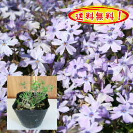 【送料無料!】芝桜(紫花)オーキントンブルーアイ 40pセット/苗【肥料プレゼント】(しばざくら・シバザクラ)