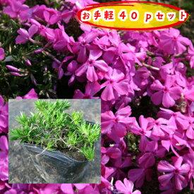 【肥料プレゼント!】芝桜(濃桃)ダニエルクッション40pセット/苗(シバザクラ・しばざくら)