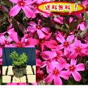 【送料無料!】芝桜(赤花)スカーレットフレーム 80pセット/苗(しばざくら・シバザクラ)【肥料プレゼント】