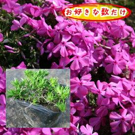 芝桜(濃桃)ダニエルクッション1pからどうぞ!/苗(シバザクラ・しばざくら)