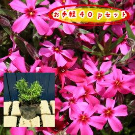 【肥料プレゼント!】芝桜(赤花)スカーレットフレーム 40pセット/苗(しばざくら・シバザクラ)