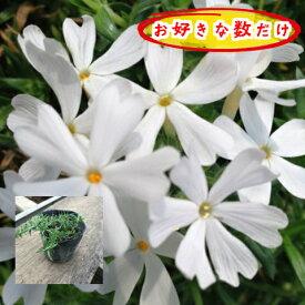 芝桜(シバザクラ・しばざくら)モンブラン 白花ホワイト 1pからどうぞ♪/苗