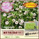 【肥料プレゼント!】ヒメイワダレソウ(リピア)40pセット/苗