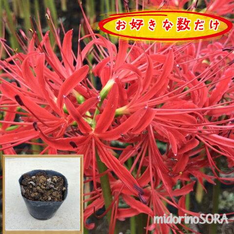 リコリス(ヒガンバナ)・ラジアータ(赤色)1pから♪/苗