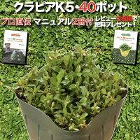 クラピアK5(薄桃)9cmポット40鉢セット雑草対策グランドカバー送料無料